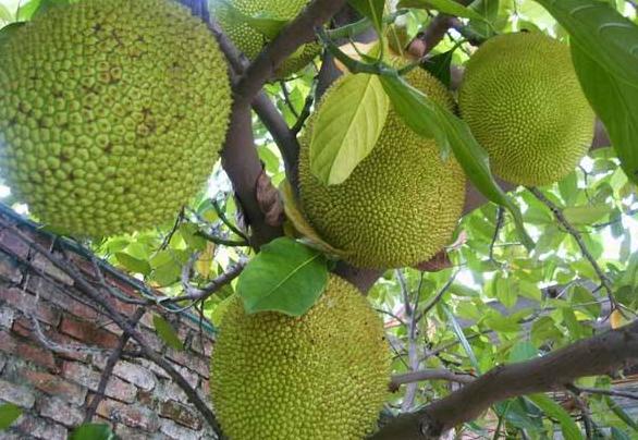 菠萝蜜与榴莲的区别